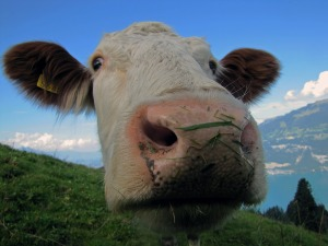 cow-542815_1280